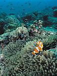Clownfish, Pulau Sipadan, Malaysia