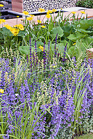 Blue and yellow garden with Nepeta catmint, Salvia, ligularia, water feature and walkway decking etc,