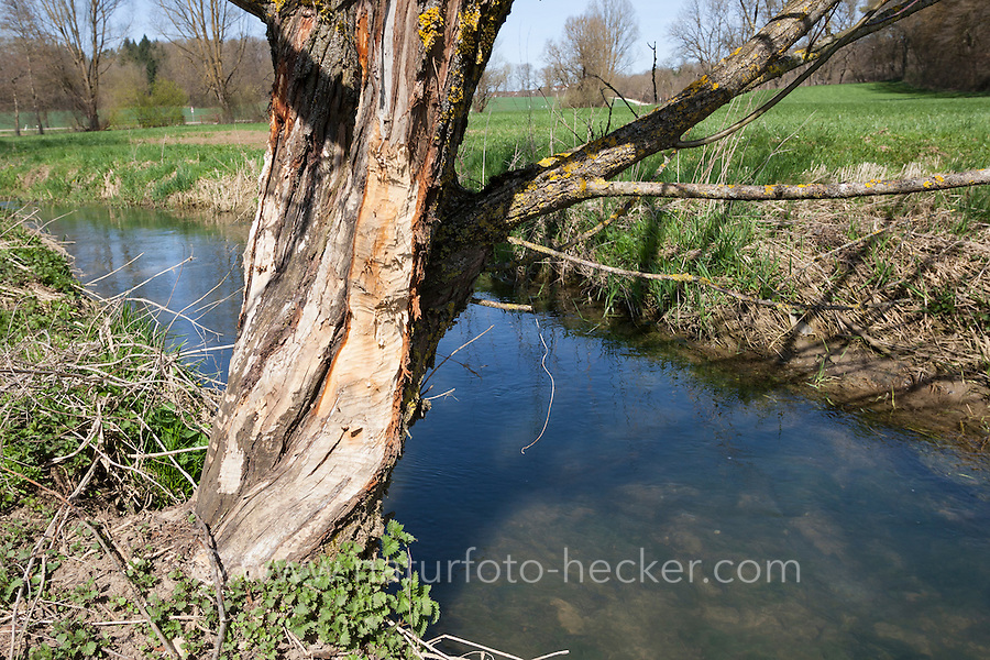 Europäischer Biber, Fraßspur an einem Baumstamm, Biber-Spur, Biberspur, Altwelt-Biber, Castor fiber, Eurasian beaver, European beaver, Castor d´Europe