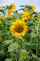 Sunflowers in flower - Lincolnshire, August