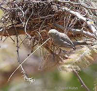 0703-1105  Verdin Building its Nest (Titmouse, Penduline Tit), Bag Nest (Hanging Nest or Dome Nest), Auriparus flaviceps  © David Kuhn/Dwight Kuhn Photography