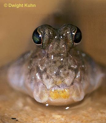 ME05-013c  Mudskipper showing stalked eyes - Periophthalmus sp.