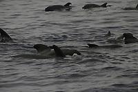 bottlenose dolphin, Tursiops truncatus, herding short-finned pilot whale, globicephala macrorhynchus, Azores Islands, Portugal, North Atlantic