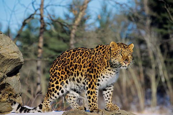 Amur leopard or Korean Leopard (Panthera pardus orientalis), Endangered Species.  Winter.