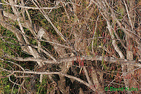 0116-08mm  Camouflaged Juvenile Black-crowned Night Heron in Tree - Nycticorax nycticorax © David Kuhn/Dwight Kuhn Photography