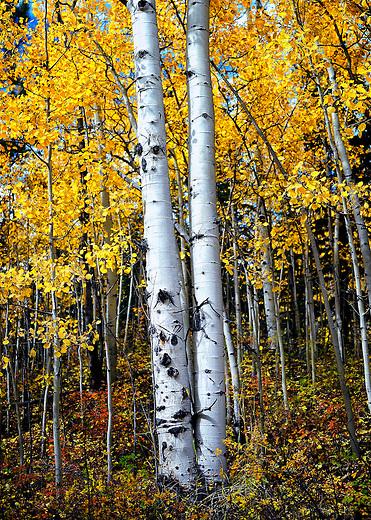 two aspen trees with fall colors near Kenosha Pass, CO
