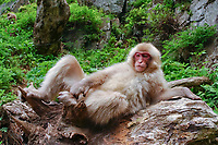 Japanese Macaque, Macaca fuscata. Nagano Pref. Japan Nikon D1x