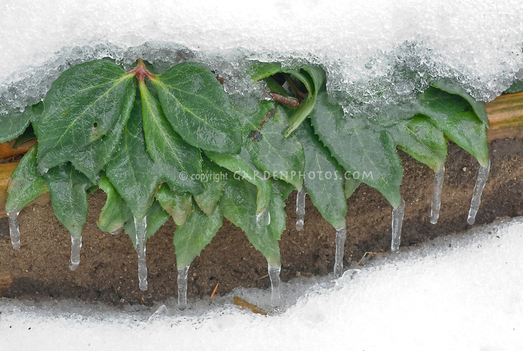 Helleborus x nigercors, ice and snow on leaves