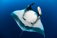 giant oceanic manta ray, Mobula birostris, formerly Manta birostris, with remora, Echeneida sp., in the Revillagigedo Islands, Pacific Ocean