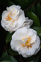 Camellia japonica 'Angel'. Originated by Mrs Elizabeth Councilman in el Monte, California, USA, and first flowered in 1951. (From catalogue, Camellias in the Conservatory Festival 2011, Chiswick House and Gardens).