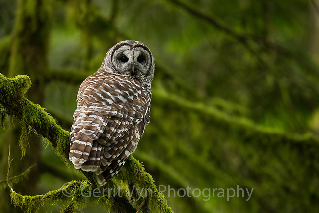 Barred Owl (Strix varia). Multnomah County, Oregon. June.