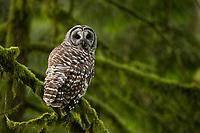Barred Owl (Strix varia). Multnomah County, Oregon. June.