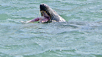 BNPS.co.uk (01202 558833)<br /> Pic: Jonathan Parr/BNPS<br /> <br /> Pictured: The seal eating a small Skate in Brixham Harbour, in Devon. <br /> <br /> This is the moment a hapless skate fish looks resigned to its fate after being caught by a hungry seal.<br /> <br /> The flatfish is a bottom feeder and was unlucky to have been picked off by the grey seal which would have dived to the seabed to scoop it up.<br /> <br /> The aquatic mammal then brought its prey to the surface in Brixham Harbour in Devon.