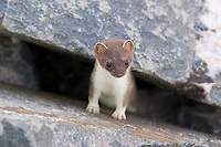 Short-tailed weasel peers out from boulder rubble in the Alaska Range mountains. also called ermines, grow to be about 14-17 inches long and are known to be master predators, consuming 40 percent of their body weight daily.