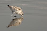 Sanderling foraging in the sand on Galveston Island