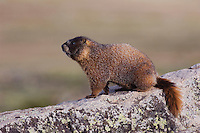 Yellow-bellied Marmot,Marmota flaviventris,adult on rock boulder,Rocky Mountain National Park, Colorado, USA