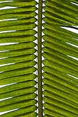 Aldeia Baú, Para State, Brazil. Detail of Amazon Palm leaf.