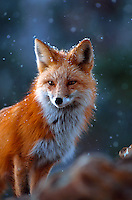 Close up of a red fox in snow.