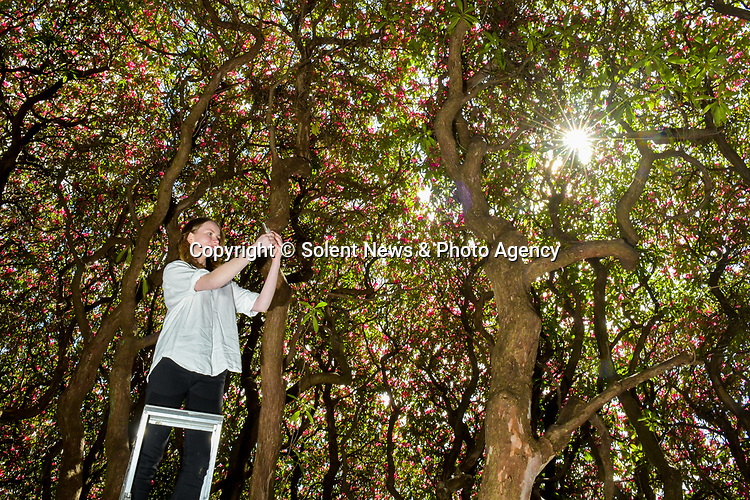 Pictured: Gardener Eloise Mercer inside the UK's largest rhododendron bush at South Lodge Hotel in Horsham, West Sussex where the sunlight creates the effect of a stained glass window.<br /> <br /> England's biggest rhododendron has bloomed just in time for the end of lockdown and is looking bigger and better than ever.   The magnificent bush has grown since last year and is now so large a double decker bus could fit inside it.<br /> <br /> Ordinarily it would attract enthusiasts from around the world. But due to the covid pandemic the hotel whose grounds it sits in are shut.  But that all changes next Monday with the planned reopening of the spa and the rhododendron - dubbed 'shrubzilla' in the past - is putting on its annual display just in time.  SEE OUR COPY FOR DETAILS<br /> <br /> © Jordan Pettitt/Solent News & Photo Agency<br /> UK +44 (0) 2380 458800
