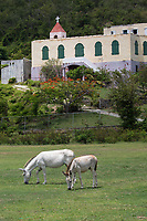 Donkeys grazing in the ball field<br /> Coral Bay<br /> Moravian Church in the background<br /> St. John<br /> US Virgin Islands