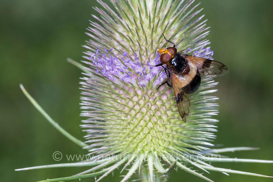 Gemeine Waldschwebfliege, Wald-Schwebfliege, Gemeine Hummel-Schwebfliege, Weißbindige Hummelschwebfliege, Hummelschwebfliege, Blütenbesuch an Wilde Karde, Volucella pellucens, Pellucid Hoverfly, Pellucid Fly, la Volucelle transparente