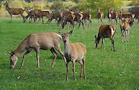 Red Deer hinds, Yorkshire.