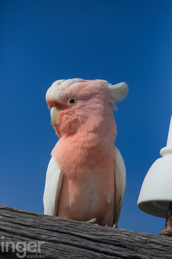 Major Mitchell Cockatoo on a power pole at Eyre Bird Observatory in remote Western Australia