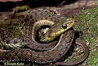 1R09-012d  Garter Snake - Thamnophis sirtalis