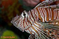 "0106-08vv  Red Volitan Lionfish ""Venomous Spines on Fish"" - Pterois volitans © David Kuhn/Dwight Kuhn Photography"