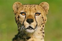 Cheetah (Acinonyx jubatus) portrait.