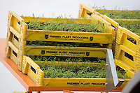 Fennel plants waiting to be planted <br /> Picture Tim Scrivener 07850 303986 <br /> scrivphoto@btinternet.com<br /> ….covering agriculture in the UK….