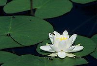 White Waterlily, Nymphaea alba, blooming with Hoverfly, Rheindelta, Germany, July 1998