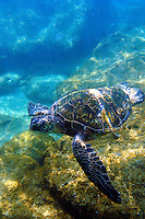 Green sea turtle swims at Shark's Cove on the north shore of Oahu.