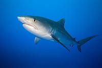 tiger shark, Galeocerdo cuvier, showing nictitating membrane, West End, Bahamas, Caribbean Sea, Atlantic Ocean