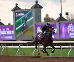 November 1, 2020: Nashville, trained by trainer Steven M. Asmussen, exercises in preparation for the Breeders' Cup Sprint at Keeneland Racetrack in Lexington, Kentucky on November 1, 2020.Carolyn Simancik/Eclipse Sportswire/Breeders Cup