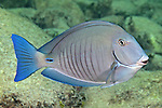 Acanthurus chirurgus, Doctorfish, Florida Keys