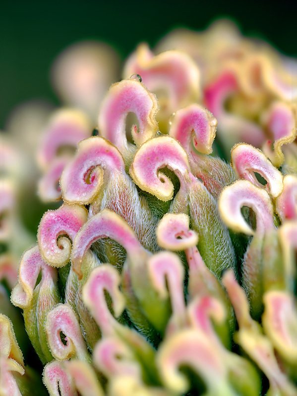 Extreme close up of Pistils from peony flower