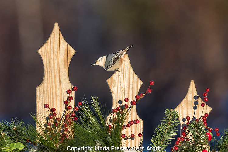 White-breasted nuthatch on a festive fence