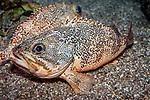 Blackbelly Rosefish facing left