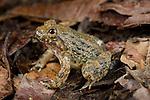 Kuhl's Creek Frog (Limnonectes kuhlii). Danum Valley, Sabah, Borneo.