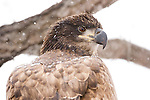 Bald Eagle (Haliaeetus leucocephalus) one year old juvenile in snowstorm, Lower Klamath National Wildlife Refuge, California