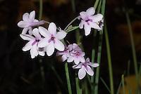 Tulbaghia cominsii x violacea Purple Eye, hybrid society garlic, summer blooming bulb