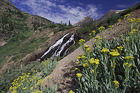 Twin Falls and wildflowers Yankee Boy Basin,Tall blacktip Ragwort,Senecio atratus, Ouray, San Juan Mountains, Rocky Mountains, Colorado, USA, July 2007