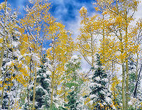Snow and fall colored aspens in conifer forest. San Juan Mountains near Red Mountain Pass, Colorado