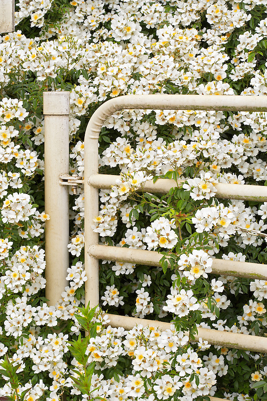 Gate with Dornoscherschloss roses. Heirloom Gardens, Oregon