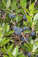 Breitblättrige Steinlinde, Steinliguster, Früchte, Phillyrea latifolia, Broad leaved phillyrea, Broadleaved phillyrea, Mock privet, fruit