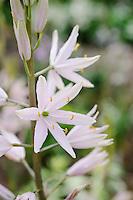 Camassia Pink (American)