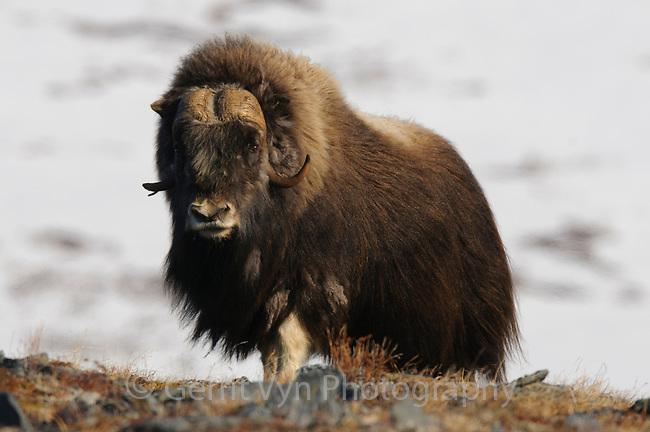 Old bull Muskox (Ovibos moschatus). Seward Peninsula. May.