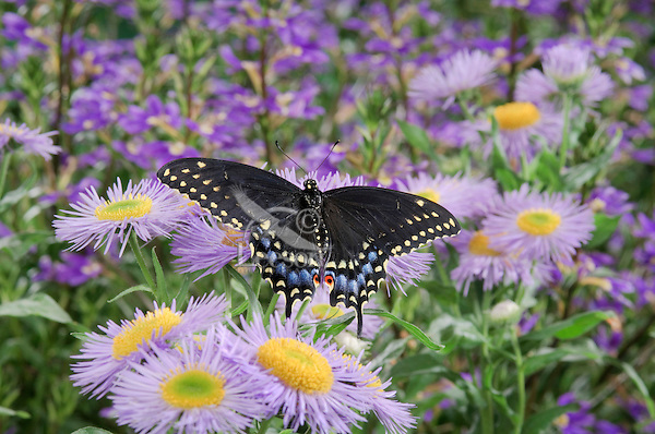 Eastern Black Swallowtail Butterfly (Papilio polyxenes asterius) female amid fleabane flowers ( Erigeron speciosus 'Azure Fairy') in backyard garden. Summer. Nova Scotia, Canada.