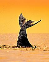 humpback whale, Megaptera novaeangliae, calf tail-slapping or lobtailing at sunset, fluke silhouette, Hawaii, USA, Pacific Ocean